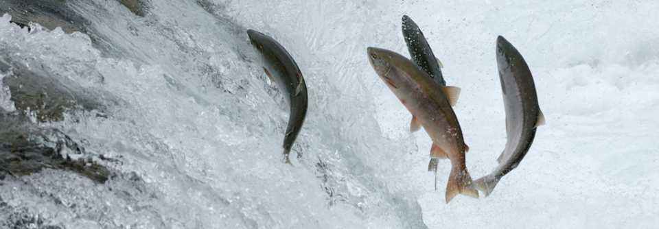 Alaska Salmon….Wild and Pure
